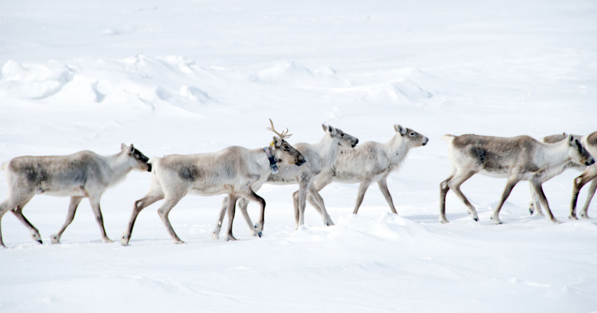 caribou with radio collar migrating